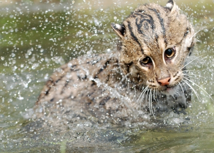 Fishing Cat from Point Defiance Zoo & Aquarium (Photo/Karen Povey)