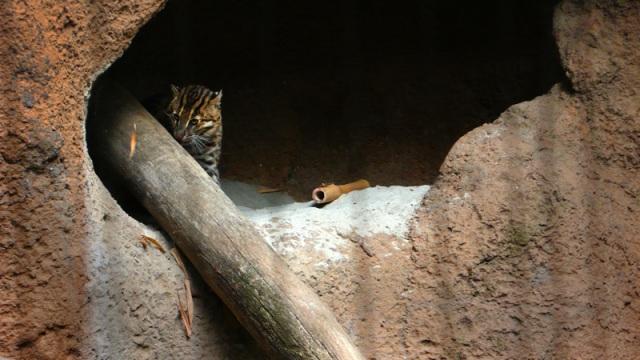 San Diego Zoo fishing cat