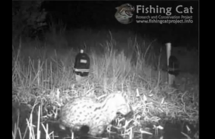 wild fishing cat video
