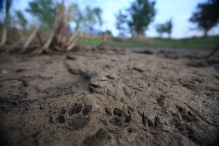 Tracks of a mother and baby fishing cat found in a half-drained fish pond in Sam Roi Yod, Thailand. (Photo/Morgan Heim, CAT in WATER)