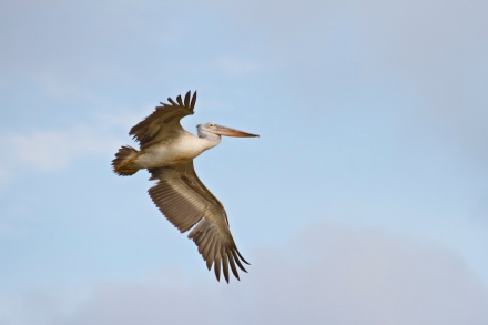 A spot-billed pelican, new visitor to Sam Roi Yod and endangered in Thailand, pays us a visit in fishing cat country. (Photo/Morgan Heim)