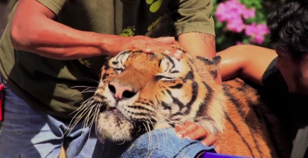 Tiger (Video Still/Joanna Nasar, CATinWATER)
