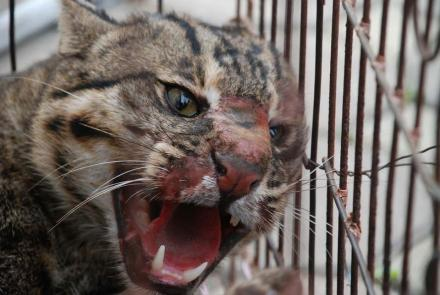 This male fishing cat sustained mortal injuries after being chased and dragged from a tree in a village north of Bangkok. Villagers reportedly sought the cat for food. (Photo/Parinya Padungtin)